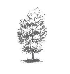 Hand-drawn tree linden realistic image in shades vector
