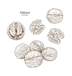walnuts set ink sketch of nuts hand drawn vector image