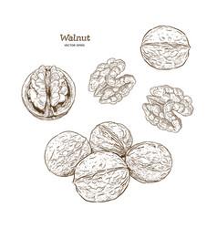 walnuts set ink sketch of nuts hand drawn vector image