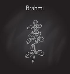 brahmi bacopa monnieri or waterhyssop vector image
