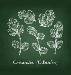 coriander chalk sketch vector image