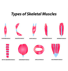 The anatomical structure skeletal muscles vector
