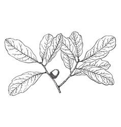 Branch of chapman oak vintage vector