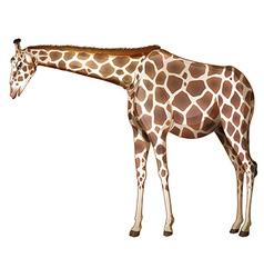 A tall giraffe vector image