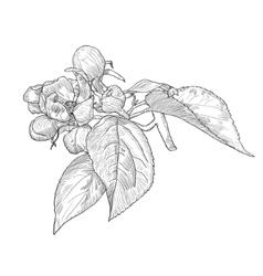 Vintage hand drawn blooming apple tree twig vector