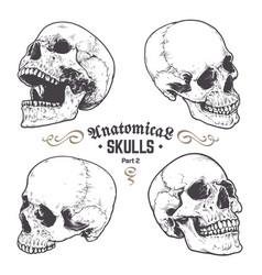 Anatomical skulls set vector