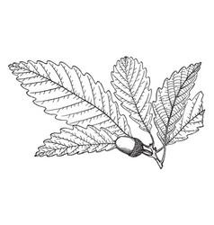 Branch of chestnut oak vintage vector