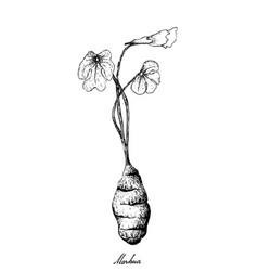 Hand drawn of fresh mashua on white background vector