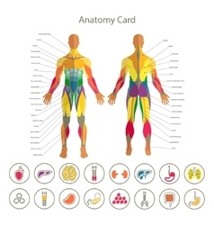 Anatomy of male muscular system front and rear vector