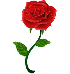 blooming red flower rose isolated a white backgrou vector image