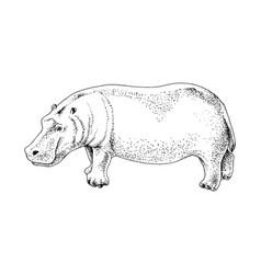 hand drawn hippopotamus vector image