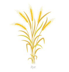 Rye plant bunch orange ripe and dry secale vector
