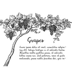 Grapevine ink sketch vector