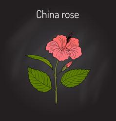 china rose hibiscus rosa-sinensis or vector image