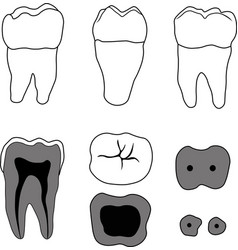molar tooth vector image