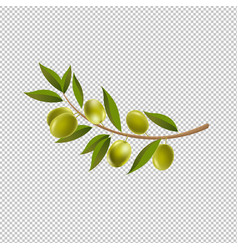 branch olives with leaf isolated transparent vector image