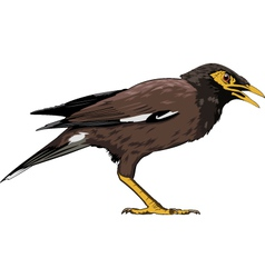 common myna vector image