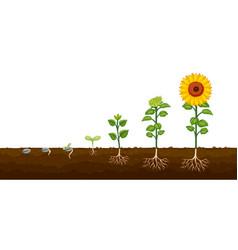 Plant growth progress diagramv vector