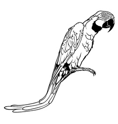 Macaw vector image