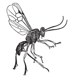female adult parasite wasp vintage vector image