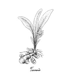 Hand drawn of turmeric plant on white background vector