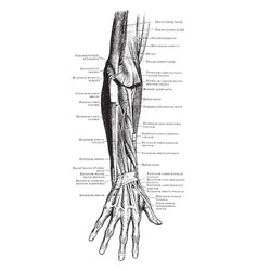 Muscles of the back forearm vintage vector