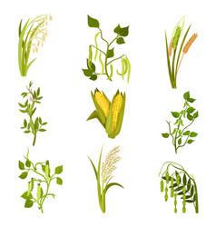 flat sett of cereals and legumes plants vector image