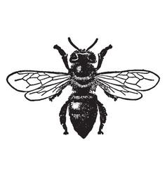 Worker honey bee vintage vector