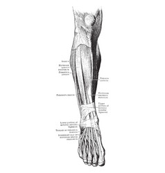 Front muscles of the leg and foot vintage vector