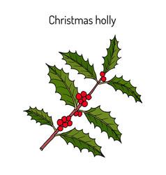holly ilex aquifolium tree branch with green vector image
