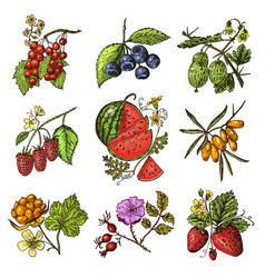 set berries raspberry blueberry sea buckthorn vector image