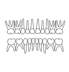 baby teeth dentition vector image
