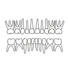 Bateeth dentition vector