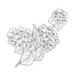 blooming flower hydrangea vector image