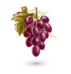Red grape bunch with ripe berry and leaf vector