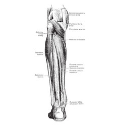 Deep muscles of the back leg vintage vector