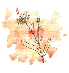 flower of calendula at watercolor background vector image