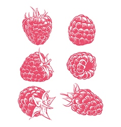 Drawing raspberry isolated vector image