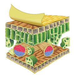 plant vascular tissue vector image vector image