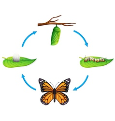 Life cycle - danaus plexippus vector
