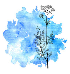 Flower valerian at watercolor background vector