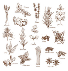 sketch spices and herbs flavorings vector image