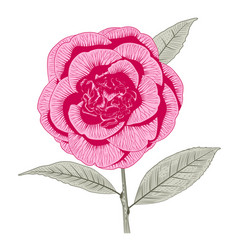 Bright pink camellia peony form flower vector