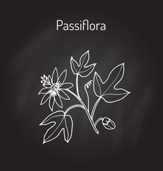 passiflora or passion flowers vector image