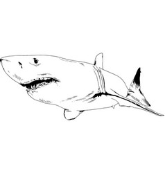 attacking great white shark with open jaws vector image