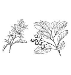 Branch of amelanchier obovalis vintage vector