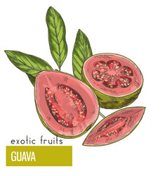Guava fruit with leaves vector