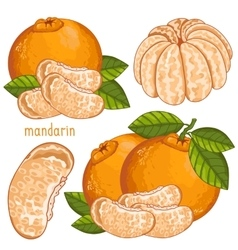 Mandarin Isolated vector image