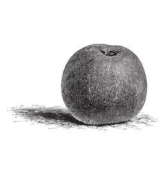 Reinette grise apple vintage vector