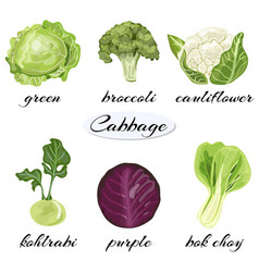 Various types of cabbage vector